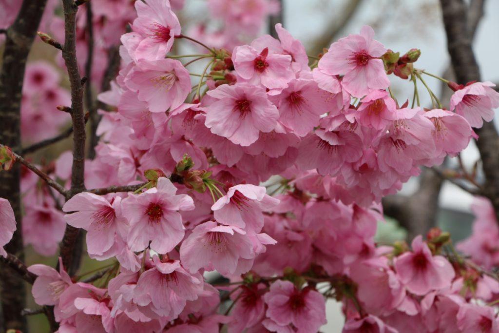 827ガーデンの陽光桜も満開です!FUNトラクション